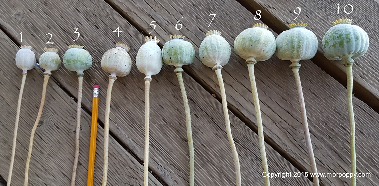 Poppy Pod Sizes 2015 Summer Crop