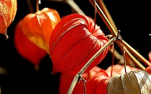 Japanese Lanterns 30 Bells